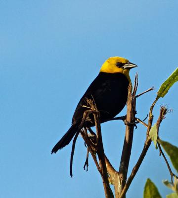 A Male Yellow-hooded Blackbird Has Less Yellow than Our Yellow-headed Blackbirds