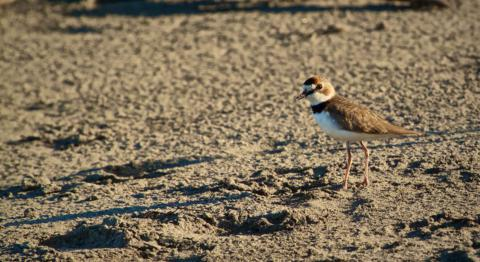 This Collared Plover Reminded Me of the Many Killdeer in Colorado, Which Have Double Black Breast Bands