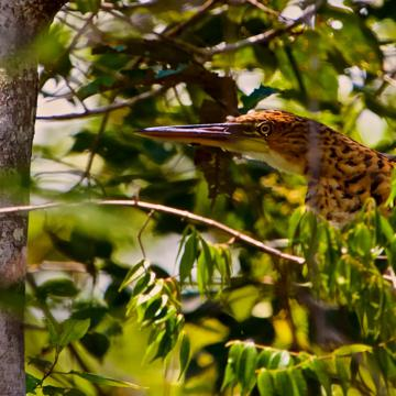 The Rufescent Tiger-Heron Does Remind Me of a Tiger or a Leopard