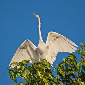 A Great Egret Rises into the Air Right in Front of Me