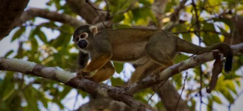 Squirrel Monkeys Like this One Live in the Canopy of Tropical Central and South American Forests