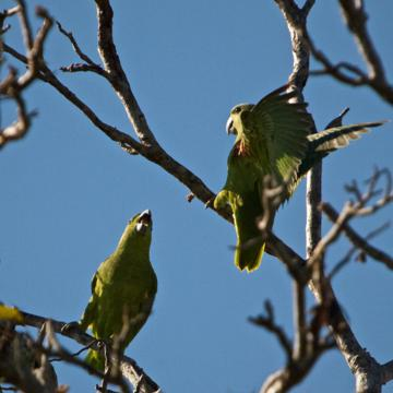 Parrots Talk in the Wild Too