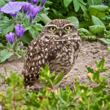 This Burrowing Owl Was the Final Bird I Saw in South America