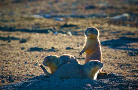 A Backlit Family of Prairie Dogs in the Preserve