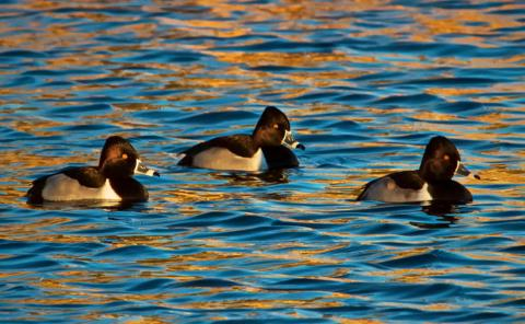 Three Male Ring-Neck Ducks Swim on a Sunny Afternoon