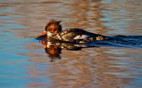 A Female Merganser Seems to Have a Bad Hair Day