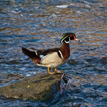 A Male Wood Duck Rests on a Rock in the River