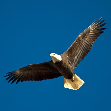 The Adult Bald Eagle Soars