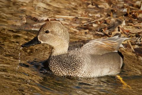 The Understated Feather Pattern of a Male Gadwall Has a Subtle Beauty