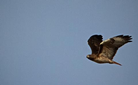 A Red-tailed Hawk Glides Past Us