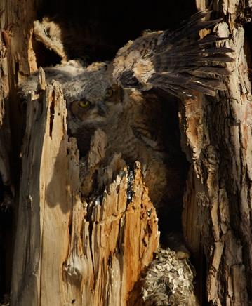 The Biggest Owlet Learns to Use its Wings