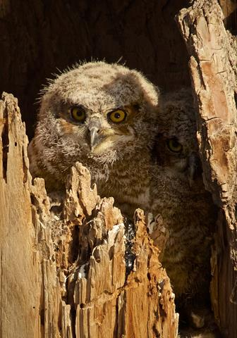 One Owlet is Much Bigger Than its Mates