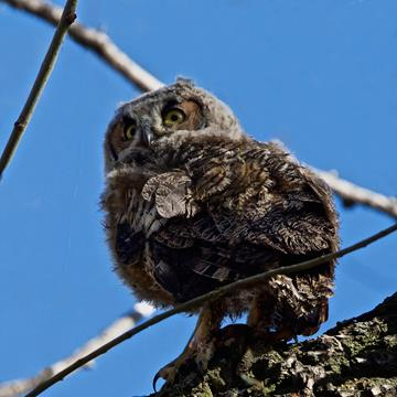 Three Days Later the Biggest Owlet Fledged