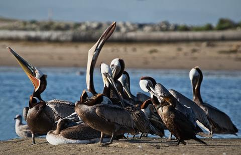 A Flock of Brown Pelicans Rests