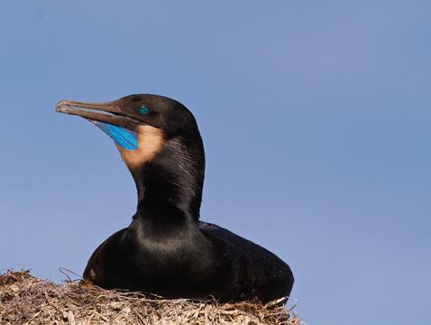 A Brandt's Cormorant in Breeding Plumage: The Blue Throat Patch