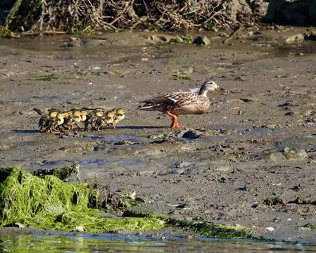 A Dozen Ducklings Follow Mama Mallard