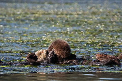 ​A Southern Sea Otter Grooms her Pup