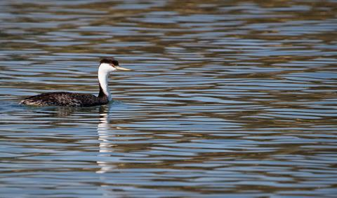 This is a Western Grebe