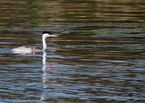 This is a Clark's Grebe, Considered to be a Morph of the Western Grebe until the 1980s