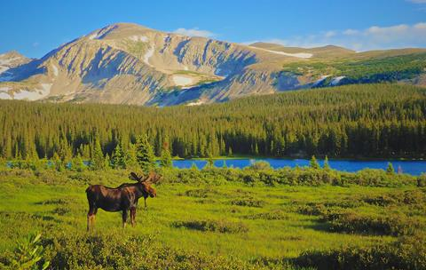 A Moose in a Meadow