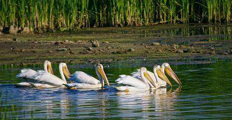 ​Six American Pelicans Coordinate Their Fishing