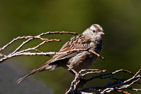 ​A Timberline Sparrow at Lake Isabelle