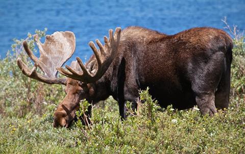 A Bull Moose Feeds at the Edge of Brainard Lake