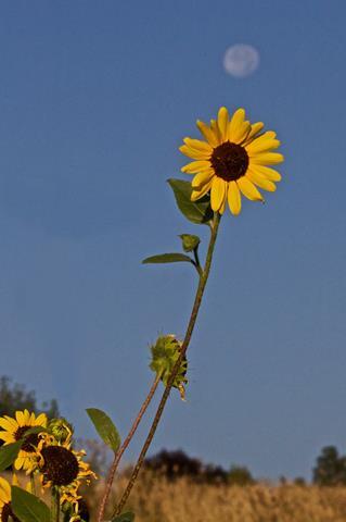 A Sunflower Bigger than a Full Moon