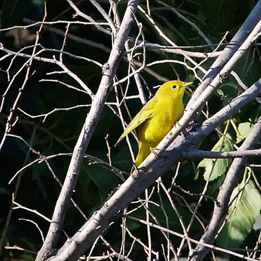A Yellow Warbler is Yellow