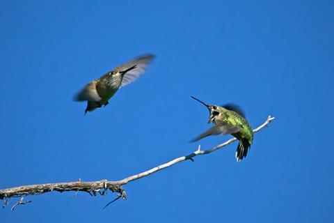 Two Calliope Hummingbirds