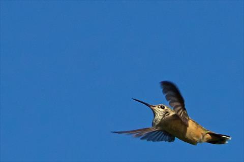 One Calliope Hummingbird