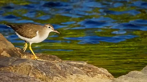 ​A Spotted Sandpiper at Clear Creek