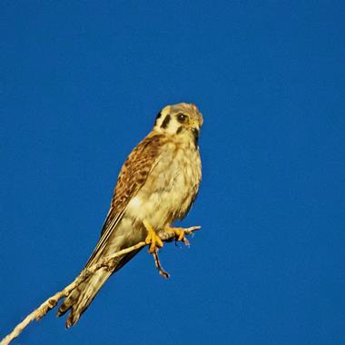 ​The American Kestrel Is Our Smallest Raptor