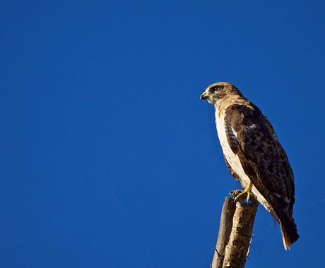 ​A Red-tailed Hawk Has Just Landed