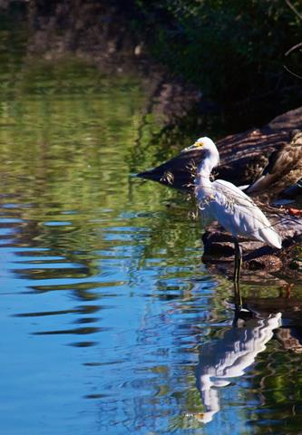 A Snowy Egret Reflected in Prospect Lake