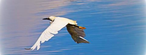 ​The Snowy Egret Flies Across Prospect Lake