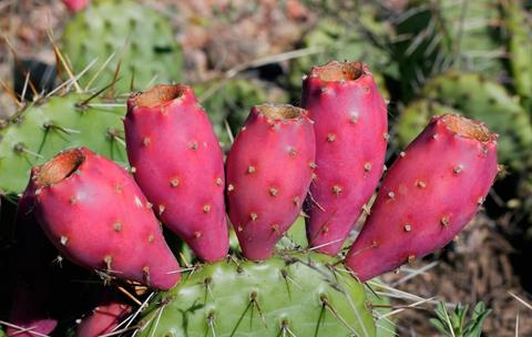 Nopal and Tuna, the Fruit of this Cactus