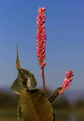 Scarlet Smartweed Grows at the Lake