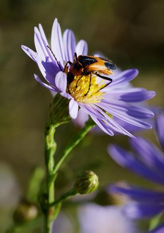 ​A Colorado Mountain Soldier Beetle Feeds on an Aster