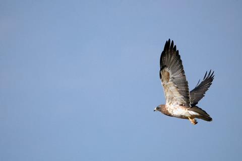 The Hawk Flew