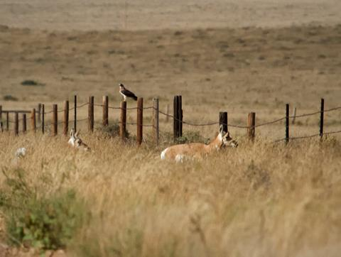 ​A Cooper's Hawk and a Pair of Pronghorns Ignore Each Other