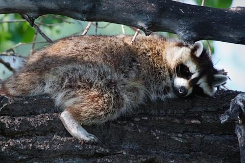 A Sleepy Raccoon Barely Opens Its Eyes