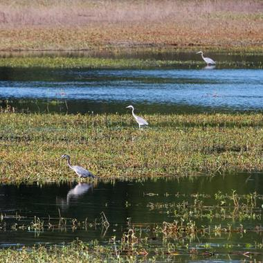 ​Three Great Blue Herons Patrol the Lake's Edge