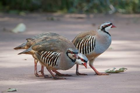 Three Sociable Chukars Eat Together