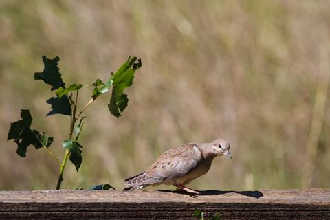 ​A Mourning Dove Walks Along a Fence