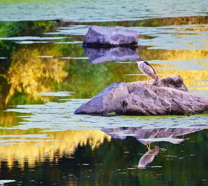 An Adult Black-crowned Night-Heron in Early Morning