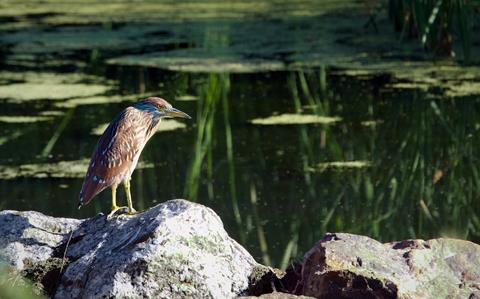 ​A Juvenile Black-Crowned Night-Heron on Its Own