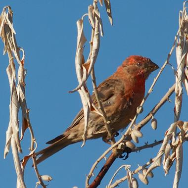 A Male House Finch Where There Are No Houses