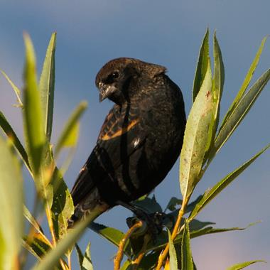 An Immature Male Red-winged Blackbird