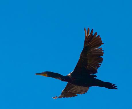 A Double-crested Cormorant Flies By